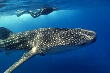 Friendly Whale Sharks Seen off Chumphon Coast