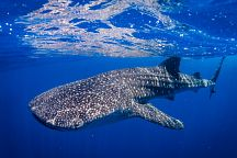 Whale Sharks Return to Phuket