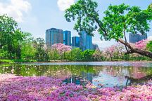 Tebabuia Blossom Season in Bangkok Begins